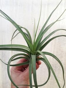 ConcolorXPaucifolia